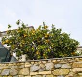 Tree of orange Stock Photography