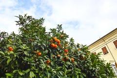 Tree of orange Stock Photos