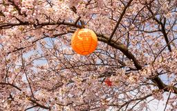 Flowering cherrytree with japanese lanterns for Hanami. Tree with an orange japanese lanterns ready for celebrating Hanami the japanese cherryblossom festival in Royalty Free Stock Photography