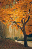 Tree with orange leaves in autumn park. Royalty Free Stock Photography