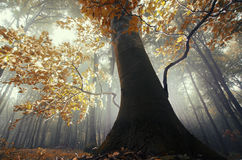 Tree with orange leaves in enchanted magical forest with fog stock images