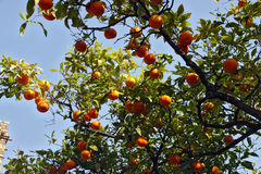 Tree with oranges Royalty Free Stock Photo