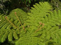 A tree in the order Cyatheales Stock Images