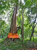 Tree ordination in Thailand Royalty Free Stock Images