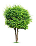 Tree. Ornamental tree  on white background Stock Images