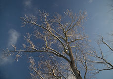 Tree outlined in snow. Leafless tree in winter outlined in snow against a blue sky Stock Image