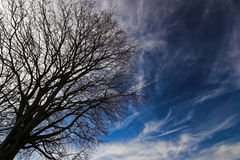 Tree Over Blue. Naked tree over blue cirrus sky Royalty Free Stock Images