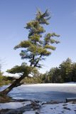 Tree over frozen lake. Scenic winter picture of a pine tree leaning over a frozen lake on a sunny day royalty free stock images