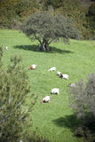 The tree over the goats. Goats grazing near abig oak tree Stock Images