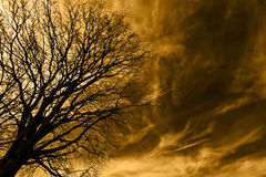 Tree Over Gold. Naked tree over golden cirrus sky Stock Images
