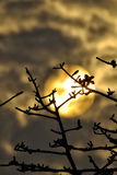A tree over a golden sky. A sunset silhouette Stock Photography