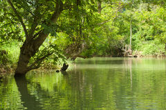 Tree over river (2). Tree hanging over river in Bamei Village (2 Royalty Free Stock Images