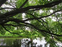 Tree over the water. At the Park of Oranienbaum Royalty Free Stock Images