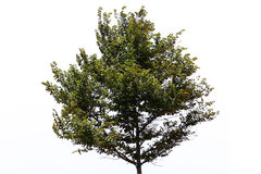 Tree over white Royalty Free Stock Photo