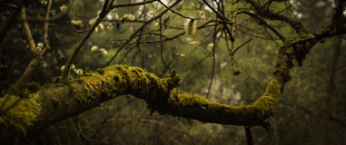 Tree overgrown with moss and and catkins. Tree overgrown with moss and carrying catkins in autumn Royalty Free Stock Photo