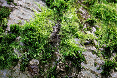 Tree overgrown with moss Royalty Free Stock Image