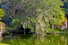 Tree overhanging swamp Royalty Free Stock Photo