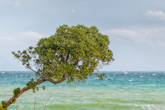 Tree overlooking the sea. Olive tree overlooking the sea Stock Photos
