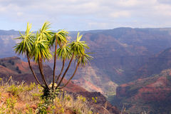 Tree overlooks Waimea Canyon Stock Photography