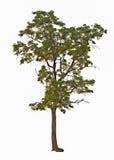 Tree på en vitbakgrund Royaltyfria Bilder
