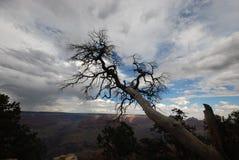 Tree på grandet Canyon Arkivbilder