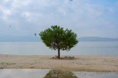 Tree på stranden Arkivbilder