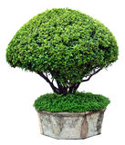 Tree på vitbakgrund royaltyfri foto