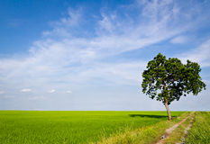 Tree in paddy field Royalty Free Stock Photography