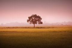 A tree in a paddy filed Stock Photo