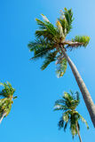 Tree palm trees on clean blue sky. View up. Tropical background Stock Photo
