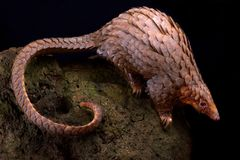 Tree pangolin Phataginus tricuspis. The Tree pangolin Phataginus tricuspis is the most trafficked mammal in the world. The scales are seen as an aphrodisiac in royalty free stock images