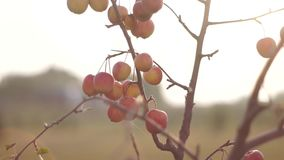A tree of paradise apples. Autumn fruits are on a fragile tree stock video