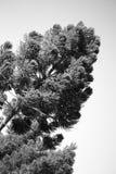 Tree from Parana stock photography