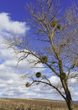 The tree with the parasitic plant Mistletoe lat. V�scum Royalty Free Stock Image