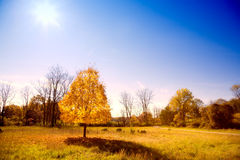 Tree in the park. Fall scenery: stand-along tree with changing leaves in the park Stock Image