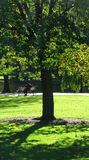 Tree in park. Backlit, green leaved, deciduous tree in a boston public park Royalty Free Stock Photography