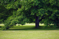 Tree in park. Tree in a late summer afternoon Royalty Free Stock Images