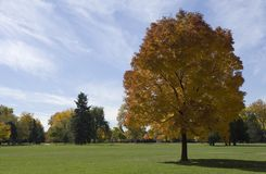 Tree in a Park. Tree in City Park in Denver, Colorado Stock Photo
