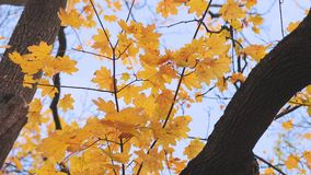 Autumn tree leaves. Tree in a park in autumn, colorful leaves starting to fall stock video