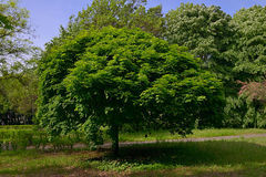 The tree in the park in Burgas Bulgaria. The tree in the park in Burgas Bulgaria, an interesting form of the green crown of the maple in spring Royalty Free Stock Photography