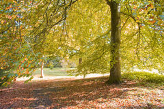Tree in park and carpet of autumn leaves Stock Image