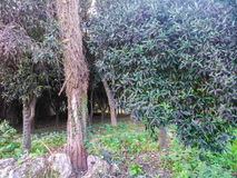 A tree in a park in Corfu island in Greece. In the suburbs Royalty Free Stock Photography