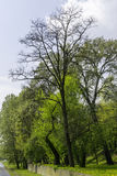 Tree in the park. High tree in the park near the Warta river in Poznan royalty free stock images