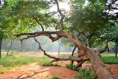 Tree at park. An image of a giant tree at a park with sun rays flashing through the leave and making the picture look stunning Royalty Free Stock Images