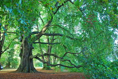 Tree in a park in Kreuzlingen Stock Images