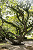 Tree In The Park. A picture of a large tree in a park Royalty Free Stock Image