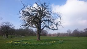 A tree in the park with a ring of daffodils around it. Spring time Royalty Free Stock Photos