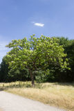 Tree in Park. Treein front of blue sky Stock Photos