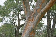 TREE WITH PATCHY BARK. Tree with grey patches of bark Royalty Free Stock Images