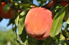 Tree with peaches. Beautiful peaches growing on a tree Royalty Free Stock Image